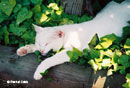 Pearl white cat